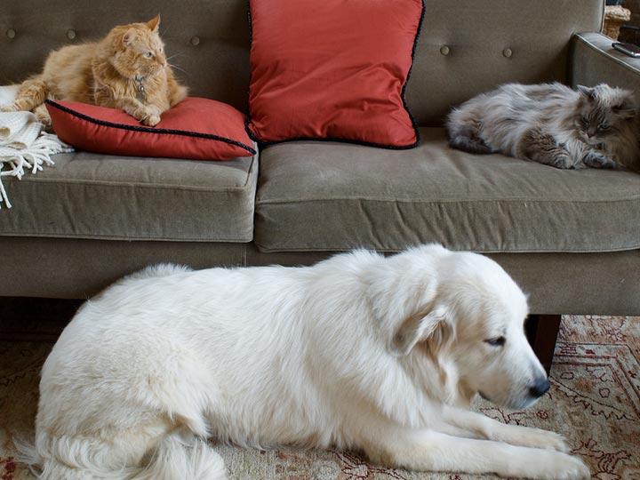 Пиренейская горная собака в доме