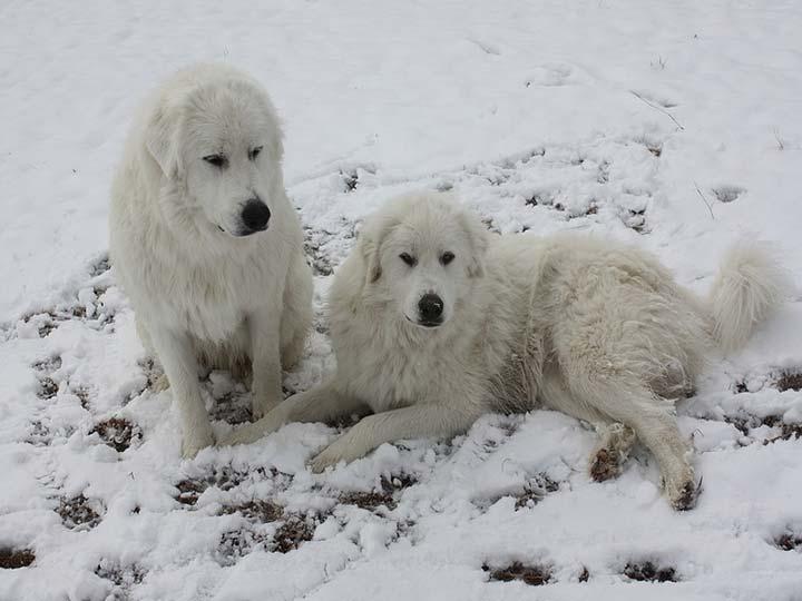 две Пиренейсские горные собаки