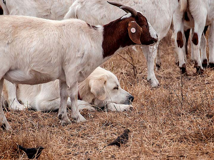 Пиренейская горная собака охраняет