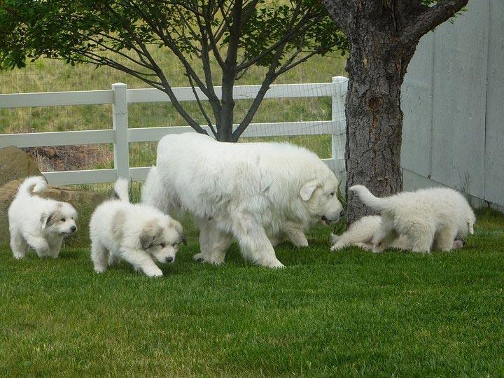 Пиренейская горная собака со щенками