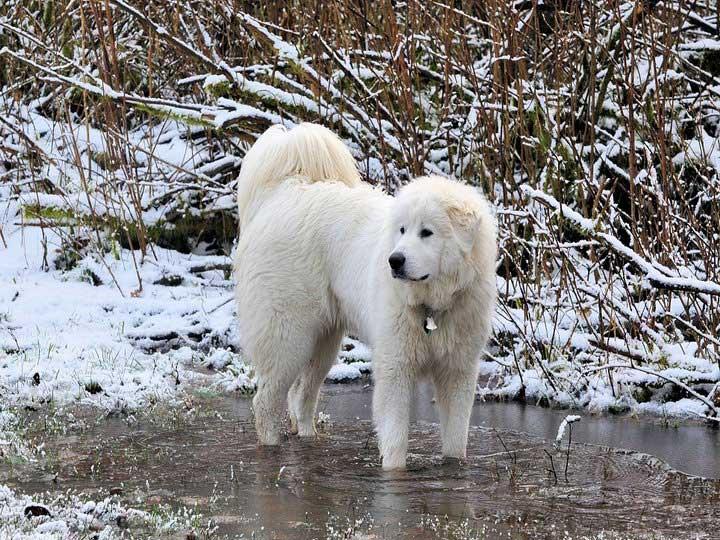 Пиренейская горная собака порода