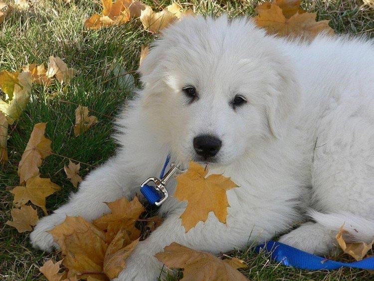 щенок Пиренейская горная собака