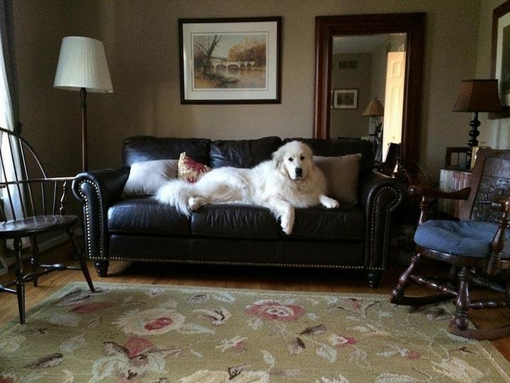 Большая пиренейская горная собака