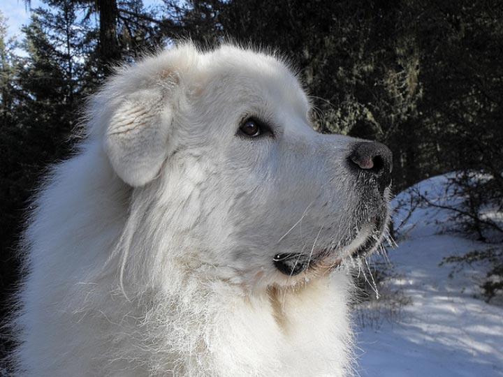 улыбка пиренейской собаки