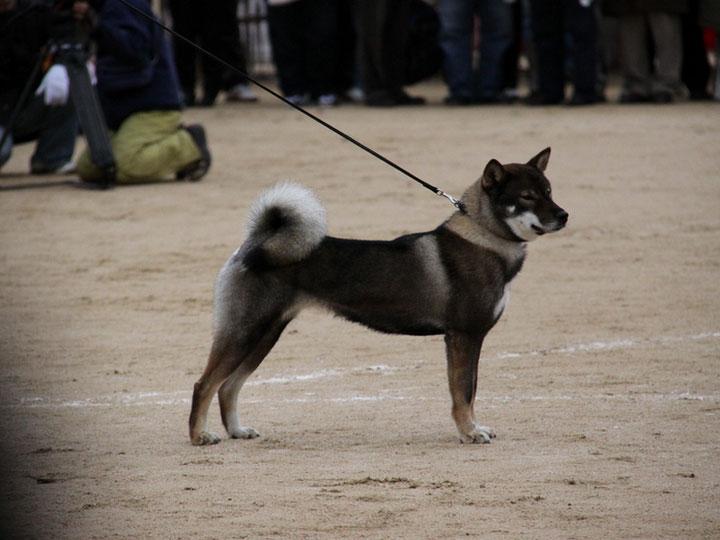 собака породы сикоку
