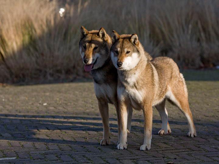 две собаки сикоку