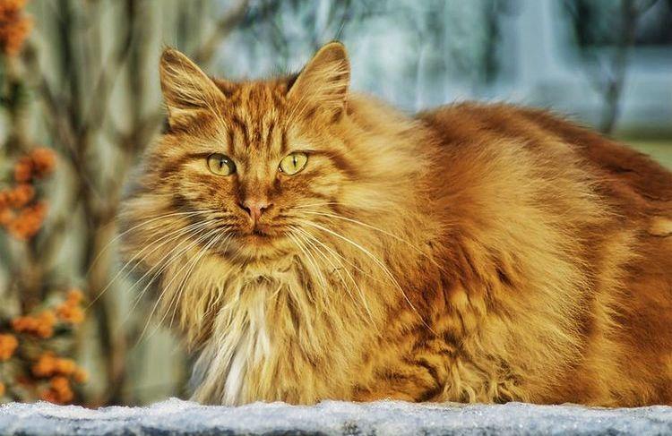 Рыжий пушистый кот на снегу