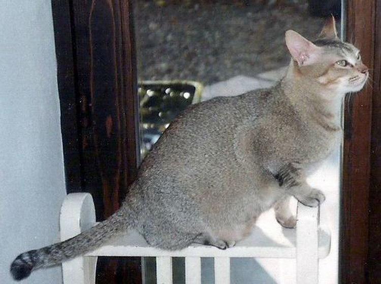 цейлонская кошка питомник