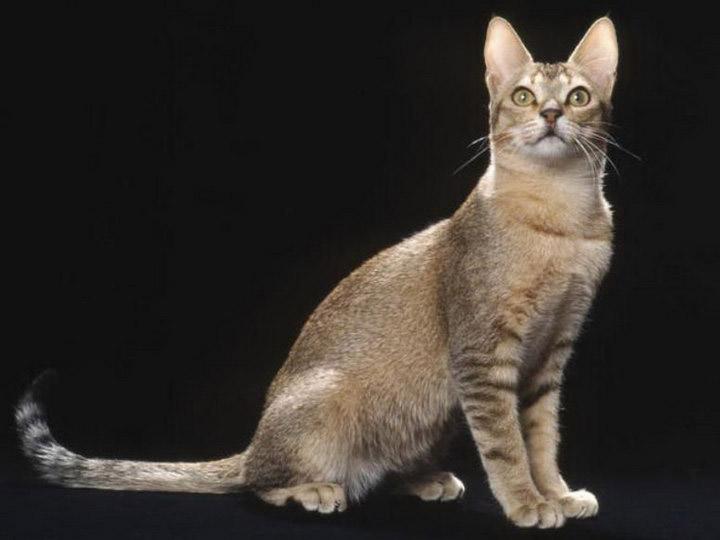 цейлонская кошка характер