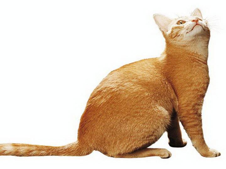 окрас цейлонской кошки