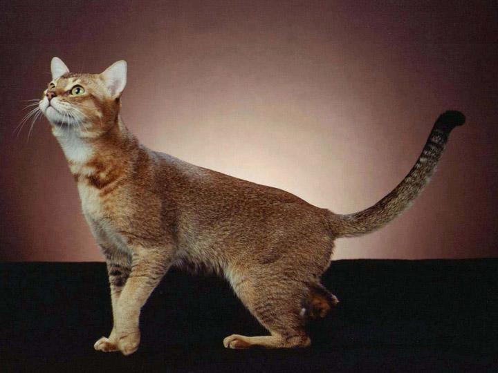 порода кошек цейлонская кошка