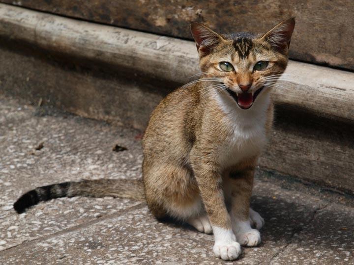цейлонский котенок