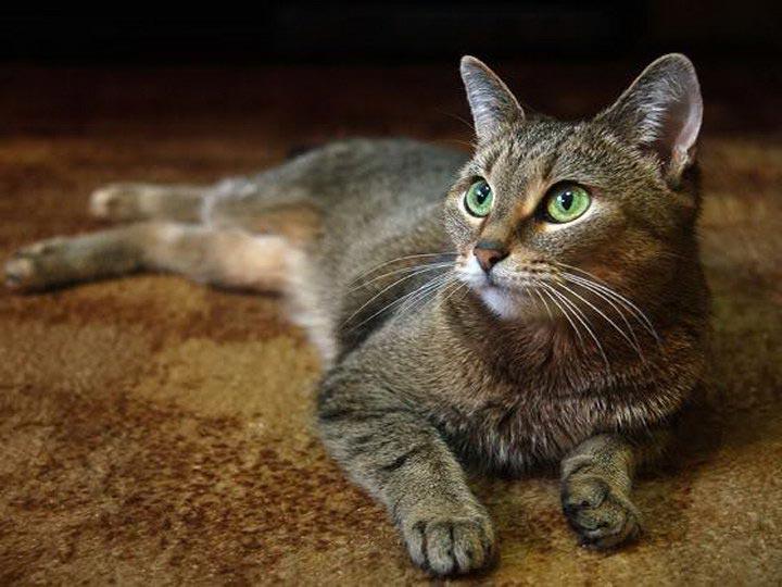 кошки породы цейлонская