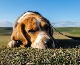 Бигль лежит на траве