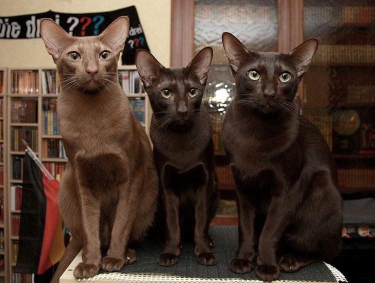 трои кошка породы гавана