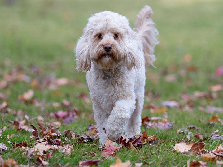 порода собак кокерпу