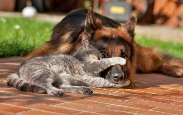 Кошка и овчарка