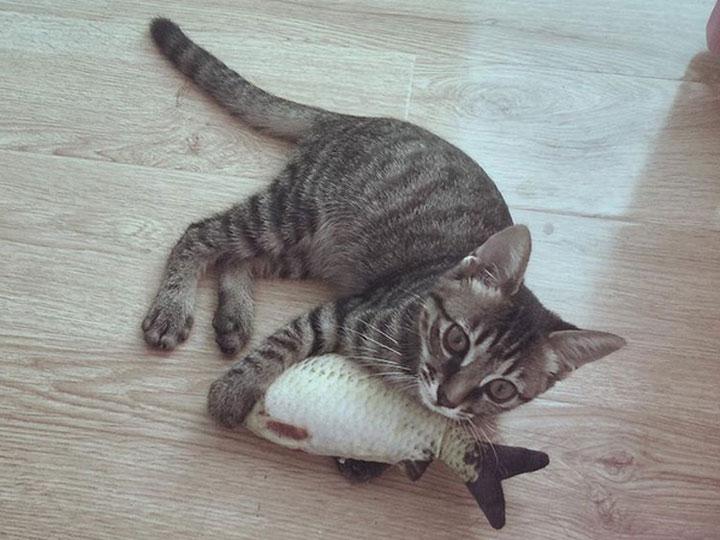 порода кошки ли хуа мао