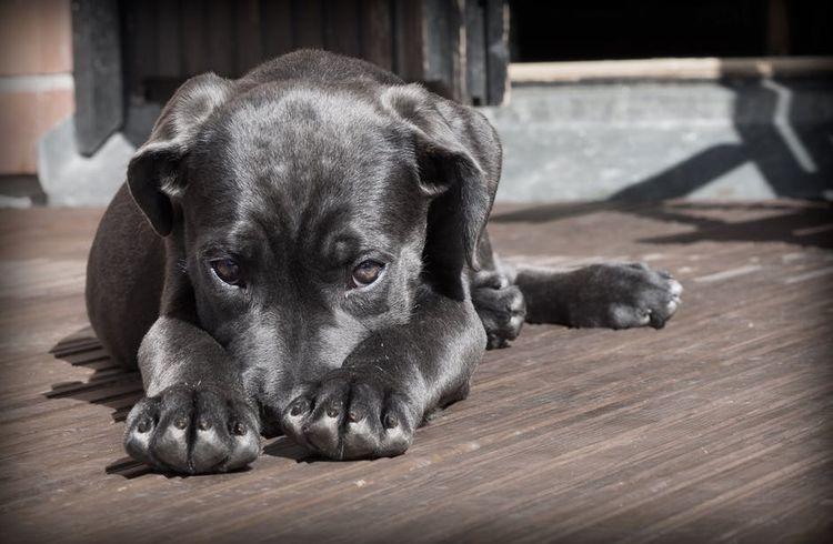 Собака прячет морду в лапы