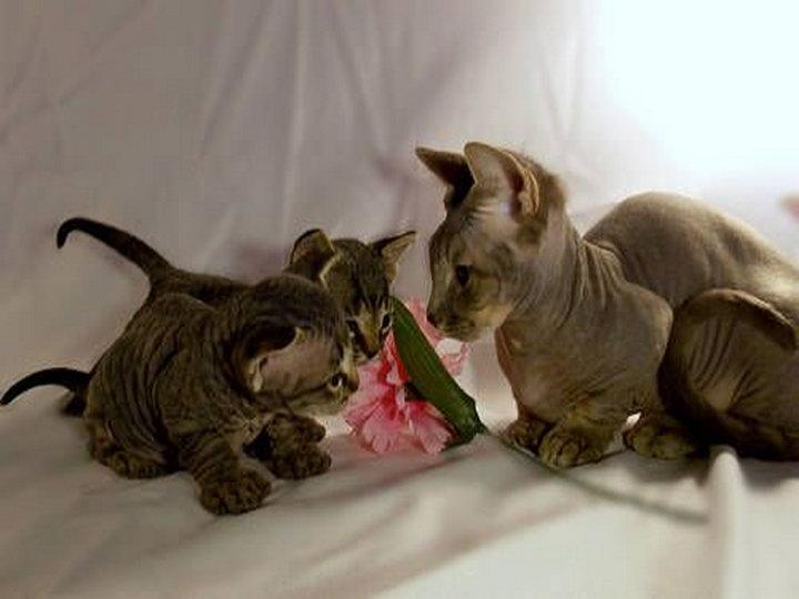 котята породы минскин