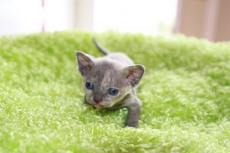 котенок породы минскин