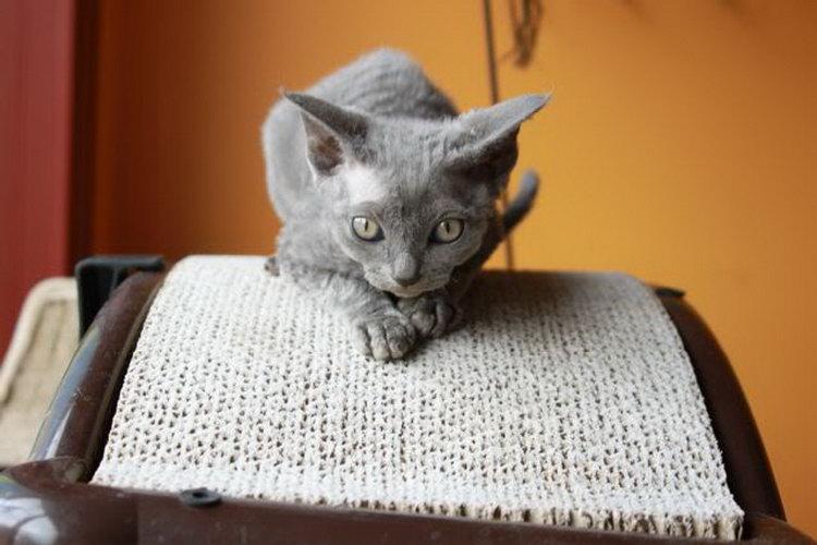 кот породы минскин