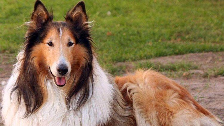 Собака породы Колли