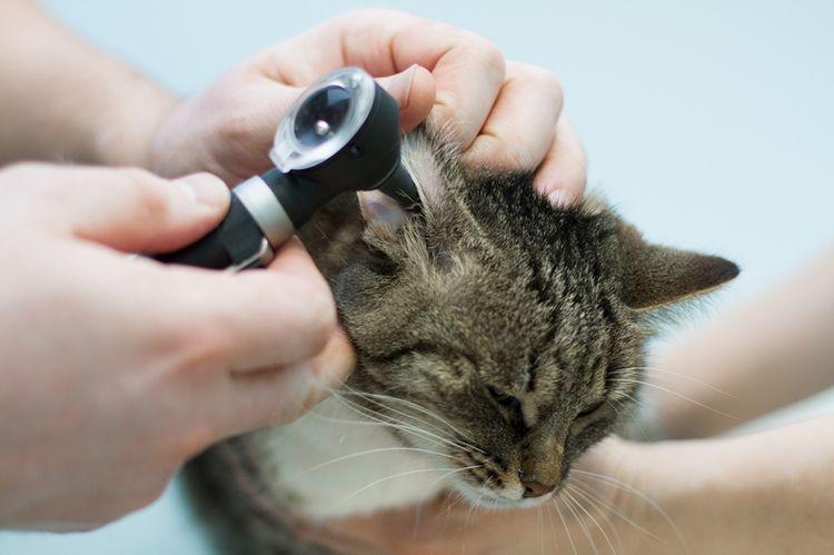 Врач осматривает коту уши