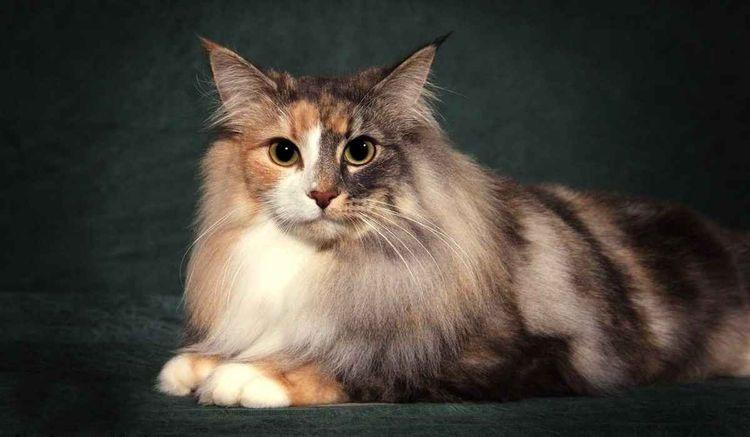Трехцветный пушистый кот