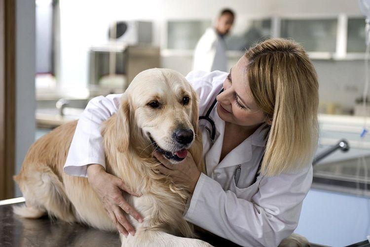 Лабрадор на приеме у ветеринара