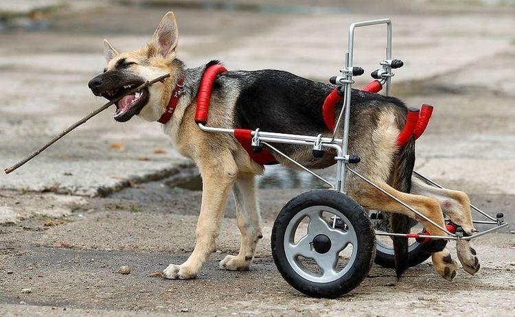 Специальная каталка для собак, у которых отказали лапы