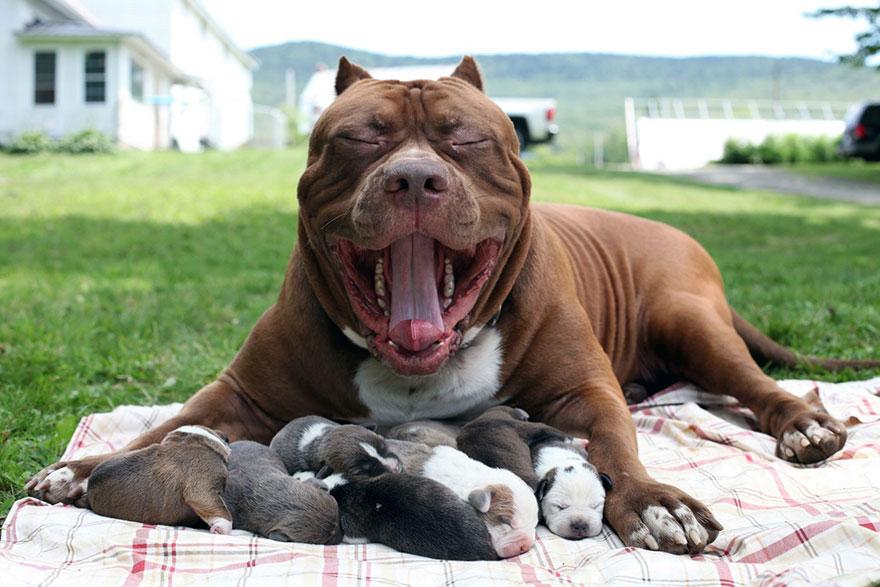 Стаффорд со щенками