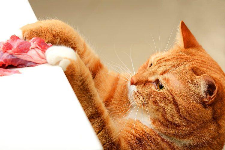 Рыжий кот полез за мясом