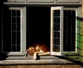 Больлшая собака спит на подоконнике