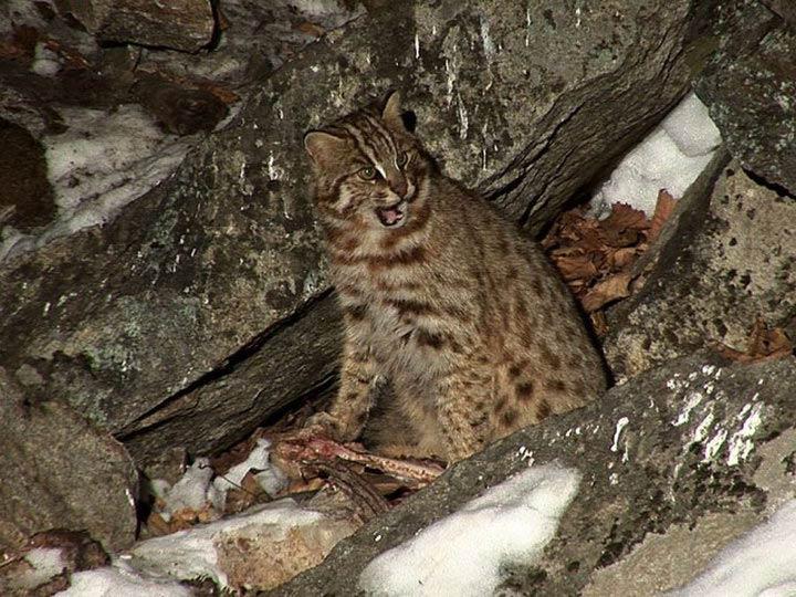 Амурская лесная кошка