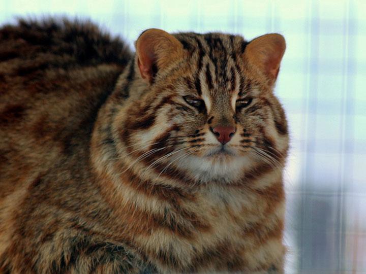 как выглядит амурский лесной кот