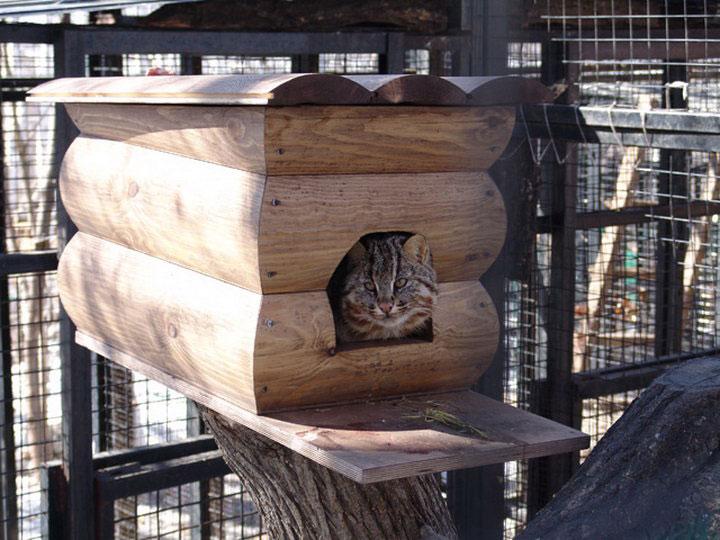 Амурский лесной кот в зоопарке