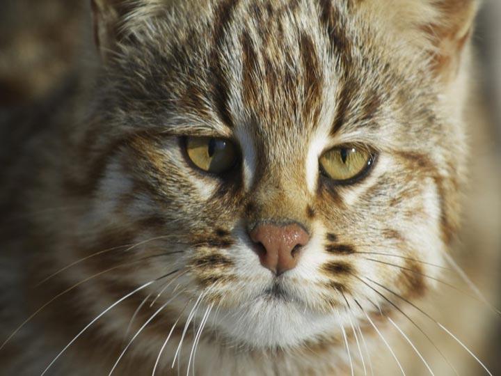 кот из Красной книги
