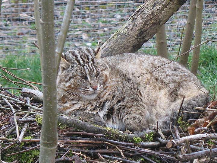 взрослый Амурский лесной кот
