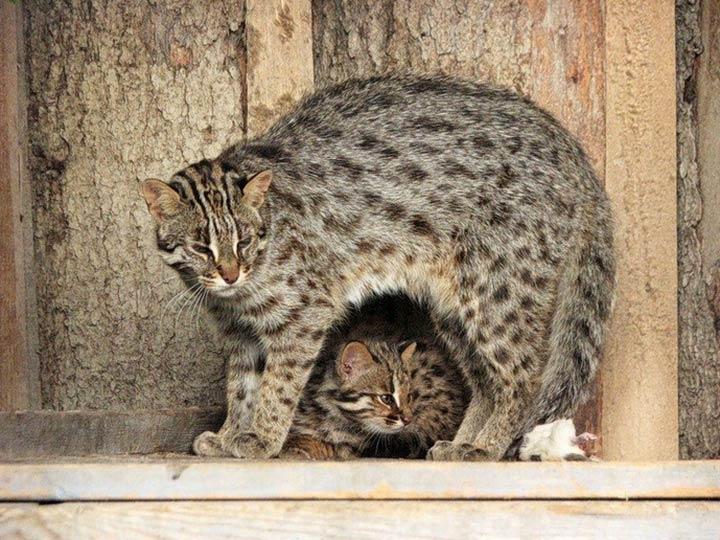 Амурский лесной кот в вольере