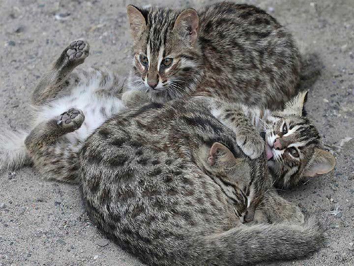 амурские котята