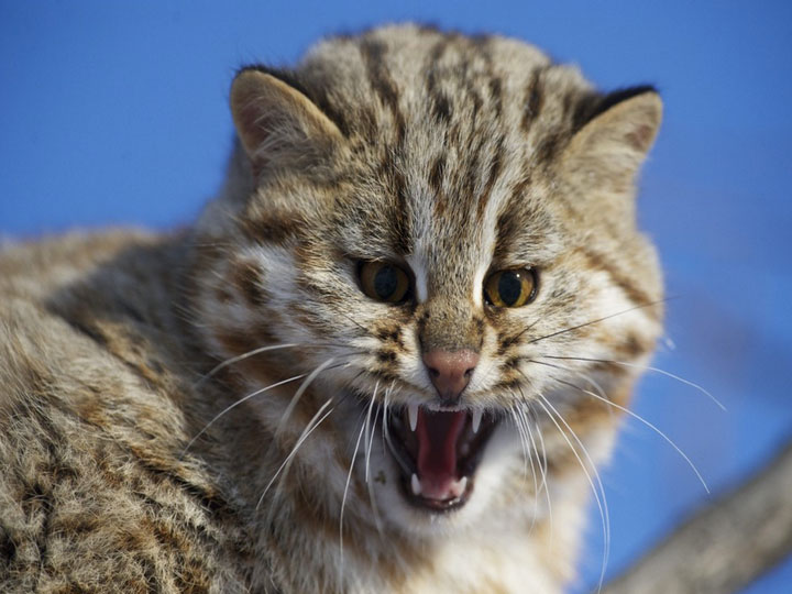 Амурский лесной кот фотографии