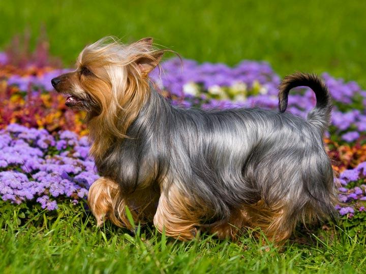 Собака породы Австралийский шелковистый терьер