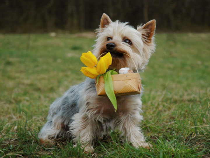 порода собак силки