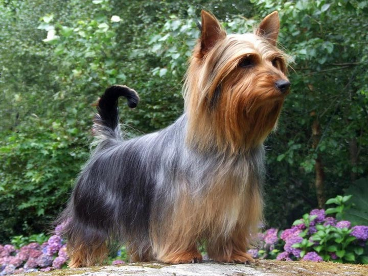 собака породы силки