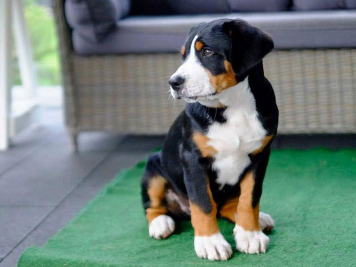 Большой швейцарский зенненхунд щенок