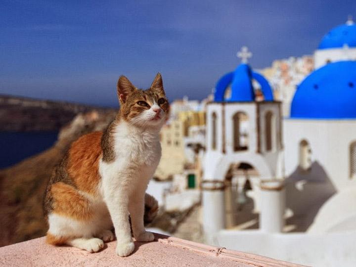 порода эгейская кошка