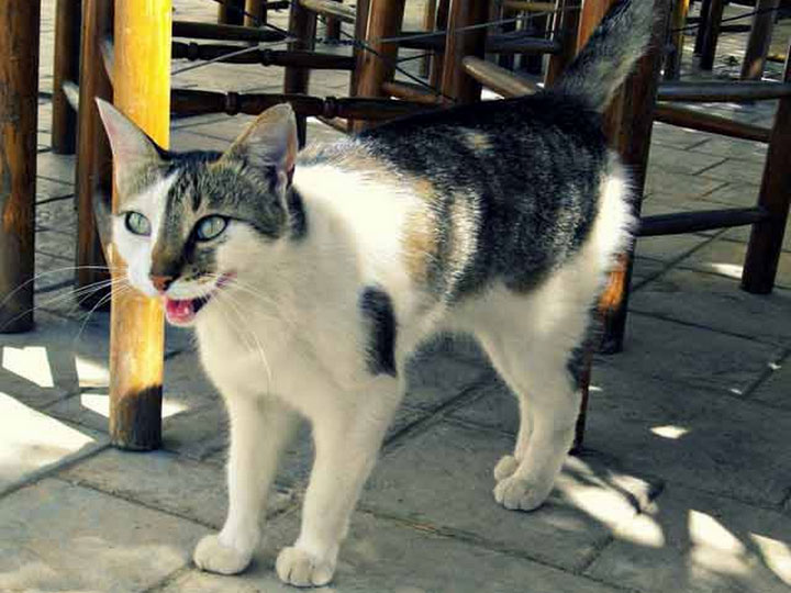 эгейский кот фото