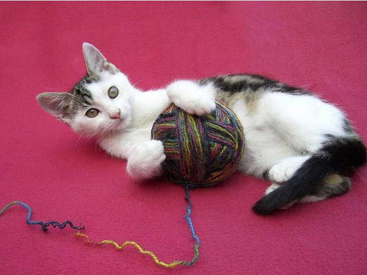 котенок породы эгейская кошка