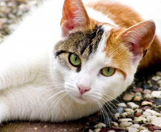 эгейская кошка окрас